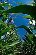 Stock shots of corn in a field in Omaha, Ne .Photo stock for Ethanol in the Midwest. .(Chris Machian/Prairie Pixel Group)