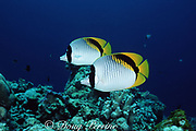 lined butterflyfish, Chaetodon lineolatus, Sipadan Island, Borneo, Malaysia ( Celebes Sea, Pacific Ocean )