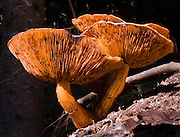 Brown orange mushrooms grow in Alpine Lakes Wilderness Area (Mount Baker Snoqualmie National Forest), Washington, USA.