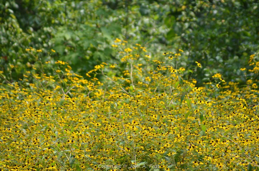 So many blooming black eyed susans in one field.  Hillsborough, NJ