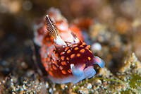 There are still many species of nudibranch that are as yet undescribed by science. This animla rejoices in the name Nembrotha species 2 and is not yet properly taxonomically classified. The use of genetic sequencing has also created many new controversies, with many existing families and species being reclassified. This partcular specimen has tangled with something that has removed one rhinophore.
