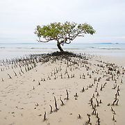 Mangrove on the beach at Fraser Island