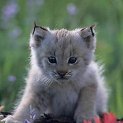 Canada Lynx, (Lynx canadensis) young kitten in wildflowers in the Bridger mountains. Montana. Captive Animal.