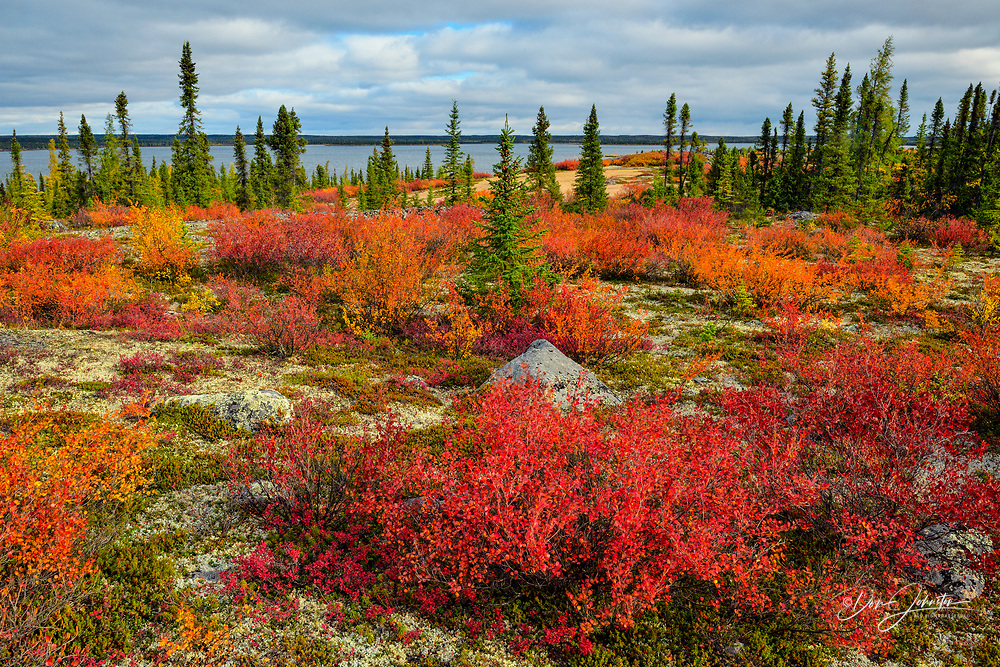 Barrenground autumn vegetation, Arctic Haven Lodge, Ennadai Lake, Nunavut, Canada