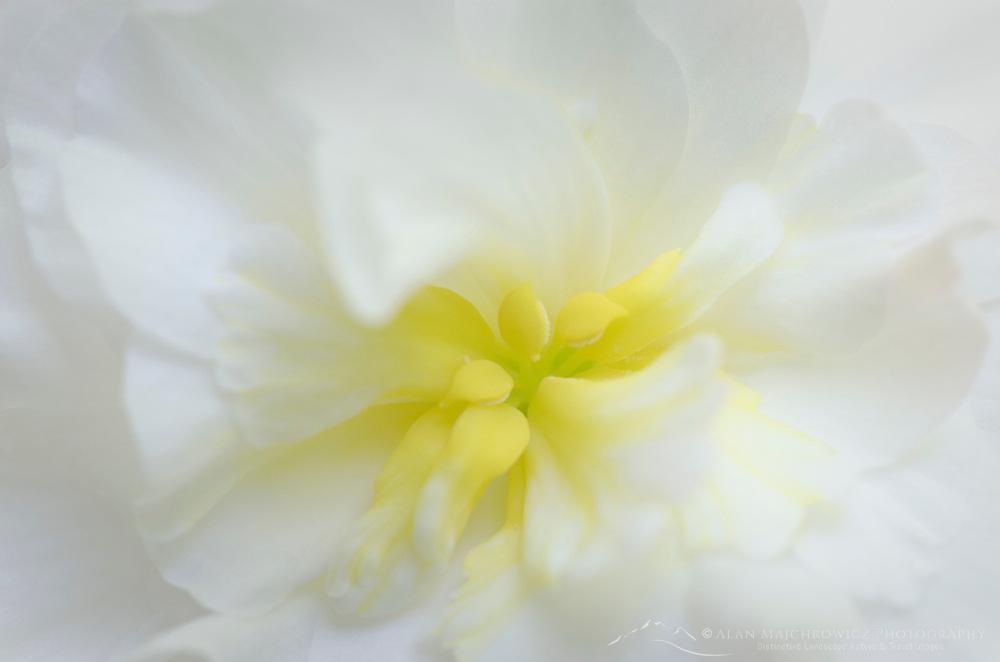 White Geranium closeup