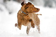 SHOT 4/11/05 5:20:06 AM - Tanner, a one year-old male Vizsla, plays in the snow during an unexpected spring blizzard in Denver, Co. The Vizsla is a dog breed originating in Hungary, which belongs under the FCI group 7. The Hungarian or Magyar Vizsla are sporting dogs and loyal companions, in addition to being the smallest of the all-round pointer-retriever breeds. (Photo by Marc Piscotty / © 2005)
