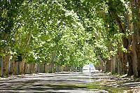 ARBOLEDA DE PLATANOS SOBRE LA RUTA 150 CAMINO A VILLA 25 DE MAYO, SAN RAFAEL, PROVINCIA DE MENDOZA, ARGENTINA (PHOTO © MARCO GUOLI - ALL RIGHTS RESERVED)