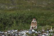 An Arctic Ground Squirrel in the Katmai National Preserve, Alaska