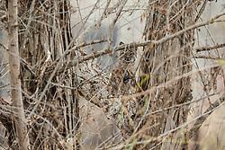 Immature bobcat in tree, Trinity River Audubon Center, Great Trinity Forest, Dallas, Texas, USA