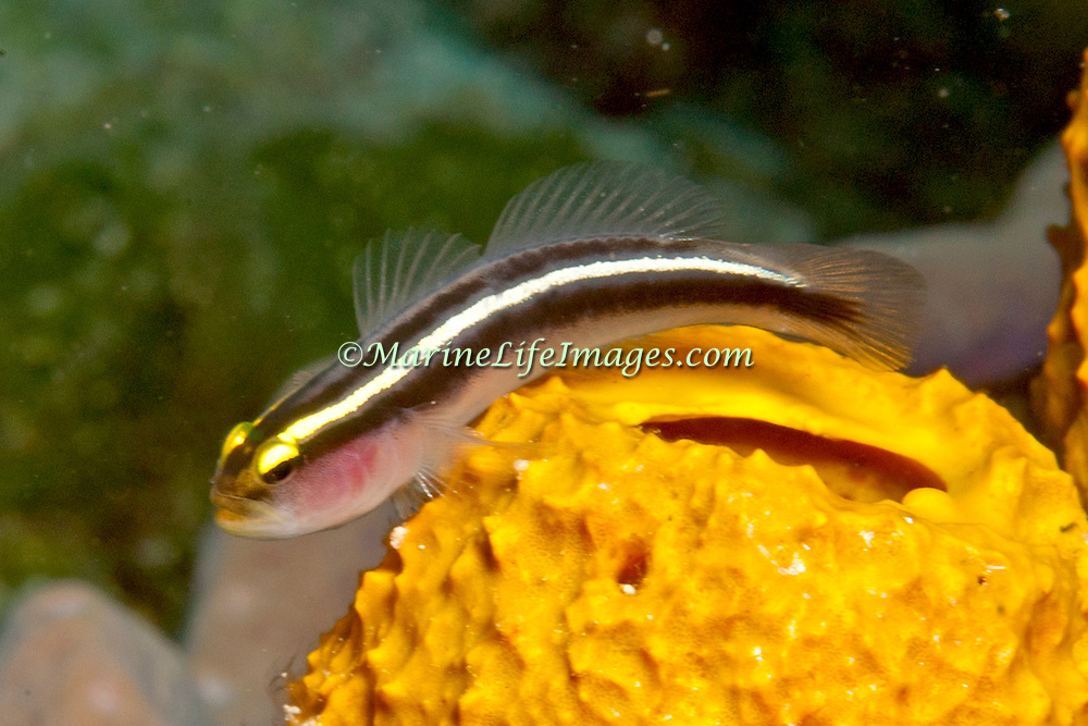 Yellowline Goby live on and around sponges, especially tube, on medium depth reefs in Caribbean and the Bahamas; picture taken San Salvador, Bahamas.
