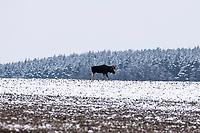 Podlasie, 30.11.2020. Pierwsze wieksze opady sniegu na Podlasiu tej zimy N/z losie na osniezonym polu fot Michal Kosc / AGENCJA WSCHOD