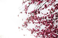 Blurred cherry blossoms in Tokyo, Japan.