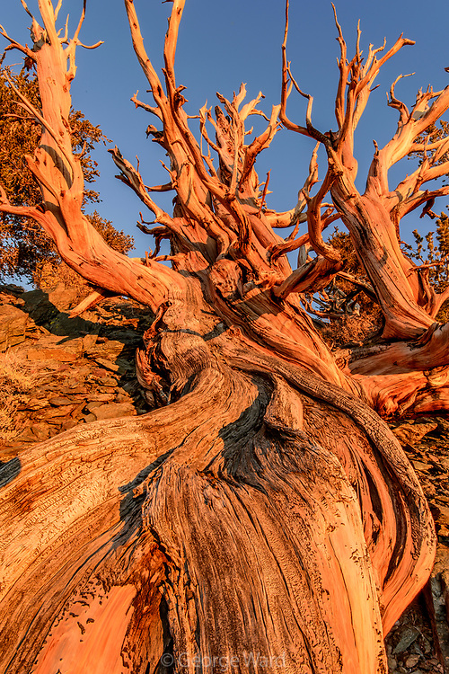 Sunset Glow on Ancient Bristlecone Pine, The White Mountains, Inyo National Forest, California