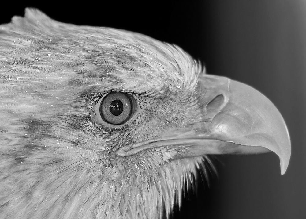An Extreme Head-Shot Close-Up Of A Bald Eagle