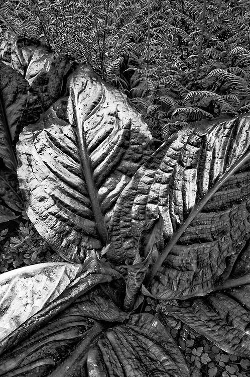 Western skunk cabbage leaves (Lysichiton americanus), overcast light, May, Olympic National Park, Washington, USA