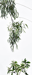 Eucalyptus camaldulensis #16