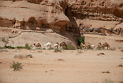 A herd of Dromedary or Arabian Camels (Camelus dromedarius) walking in the desert. Photographed in Wadi Rum, Jordan