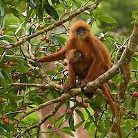Red Leaf Monkey (Presbytis rubicunda)<br />aka Maroon Langur or Maroon Leaf Monkey<br />in strangler fig tree (Ficus dubia) in the Borneo rain forest canopy.  <br />Female with baby, feeding on figs.