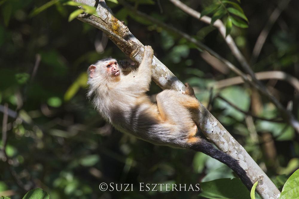 Emilia's marmoset<br /> Mico emiliae<br /> Amazon, Brazil