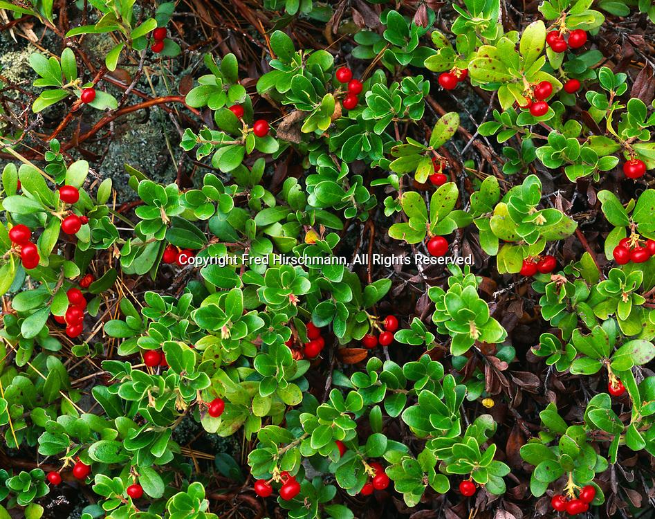 Bearberry or Kinnikinnick, Arctostaphylos uva-ursi, Brockway Mountain, Keweenaw Peninsula, Upper Peninsula of Michigan.