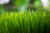 Wheatgrass closeup with morning dew water droplets.