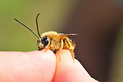 Bee held by fingers