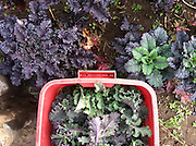 'Lacinato Rainbow' kale from Wild Garden Seed.  photo by James Young