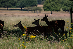 © Licensed to London News Pictures. 25/06/2020. London, UK. Deer cool off in the shade in Richmond Park in South West London as forecasters predict the hottest day of the year with temperatures expected to reach 33c. Prime Minister, Boris Johnson announces this week that tourism and hospitality, including pubs, restaurants and campsites can now reopen from the 4th of July as well as reducing the 2 metre rule to 1 metre. Photo credit: Alex Lentati/LNP