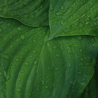 """""""Drenched in Green""""<br /> <br /> Beautiful deep green Hosta leaves drenched in a summer rain!"""