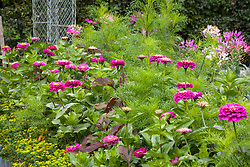 Zinnia 'Giant Purple' with Cleome hassleriana 'Purple Queen', atriplex and cosmos foliage