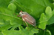 Cockchafer - Melolontha melolontha