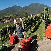 BRESSANONE, ITALY - OCTOBER 13:  Workers harvest Riesling and Gevuztraminer grapes at Abbazia di Novacella on October 13, 2010 in Varna, Italy. Abbazia di Novacella, in Alto Adige established in the year 1142 by Augustinian monks, is one of the oldest vineries in the world; it has a production of about 400,000 bottles of world class wines including Kerner, Sylvaner, Pinot Grigio, Gewurztraminer.