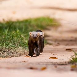 Irara (Eira barbara) fotografado na Reserva Biológica de Sooretama em Linhares, Espírito Santo, Brasil. Registro feito em 2013 <br /> <br /> ENGLISH: Tayra photographed in Sooretama Biological Reserve in Linhares, Espírito Santo, Brazil. Picture made in 2013.