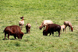 26 August 2008:  Bison or Buffalo and elk graze on prairie grass. (Photo by Alan Look)