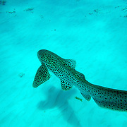 As juveniles, Zebra Sharks have striped patterns on their bodies, which change to spots as they reach adulthood, leading to a common misnomer: Leopard shark.