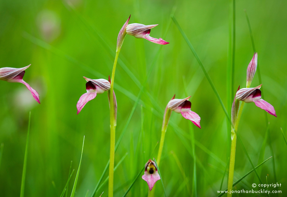 Tongue orchid. Serapias lingua