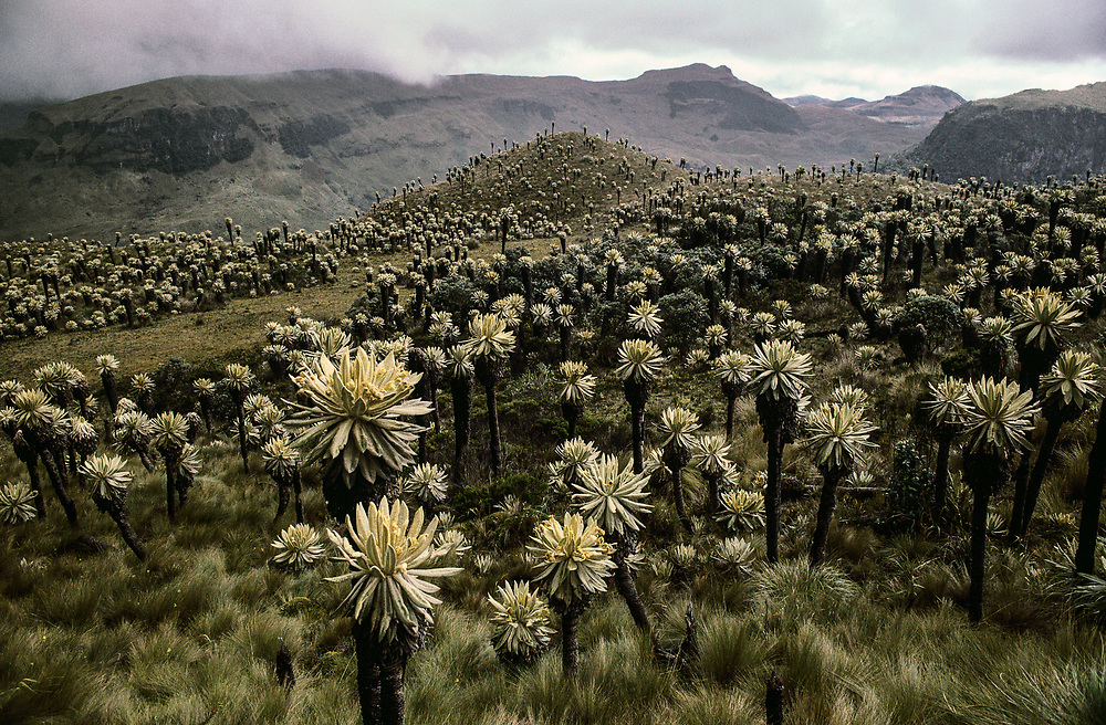 Plants in Paramos del Angel, ca. 2003