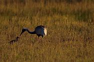 White-naped Crane, Grus vipio, walking on grass with chick in Inner Mongolia, China
