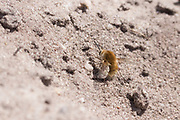 Heath bee-fly (Bombylius minor) depositing eggs in mining bee nest burrow.