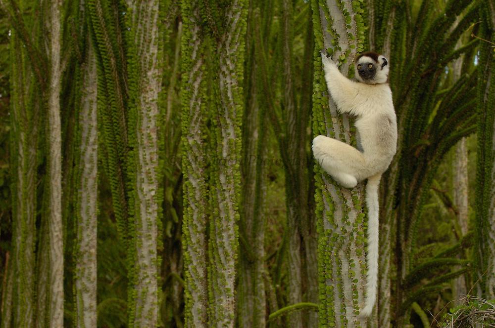 Verreaux's sifaka (Propithecus verreauxi) climbing Didieraeaceae (Alluaudia ascendens) spiny forest, Berenty Reserve, Southern MADAGASCAR, endemic