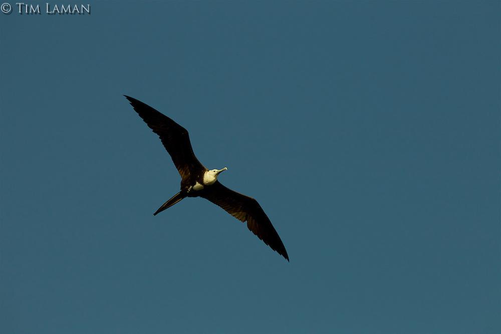 A Magnificent Frigatebird (Fregata magnificens) flying though the clear sky in Delta Amacuro, Venezuela.