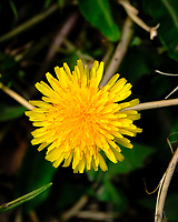 Dandelion Bloom. Image taken with a Fuji X-H1 camera and 80 mm f/2.8 macro lens