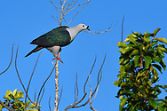 """Spice Imperial pigeon, Ducula myristicivora, Raja Ampat, Western Papua, Indonesian controlled New Guinea, on the Science et Images """"Expedition Papua, in the footsteps of Wallace"""", by Iris Foundation"""