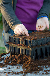 Sowing french beans into root trainers