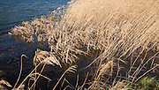 Detail of wetland reed bed by side of pond, Bawdsey, Suffolk, England