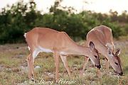 Key deer ( endangered subspecies), Odocoileus virginianus clavium, Big Pine Key, Florida Keys, Florida, USA