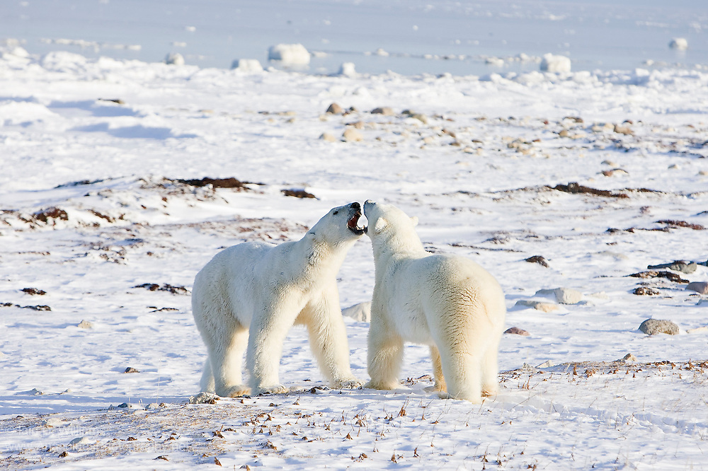 Two polar bears begin to size each other up before entering into a training fight