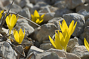 Israel, sde Boker, Negev, desert, Sternbergia clusiana Fall Daffodil. This flower blooms for three weeks every year just after the first rains in November. November 2007