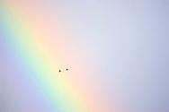 Garganeys, pair flying across rainbow-lit sky<br /> <br /> Tel: 0161 483 6311 Email: benhall@wildimages.demon.co.uk