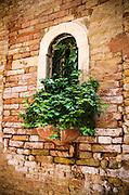 Ivy and window, Venice, Veneto, Italy